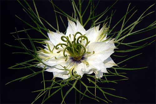 Love in a mist Nigella Flower