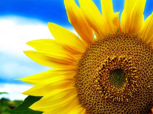 sunflower artwork print