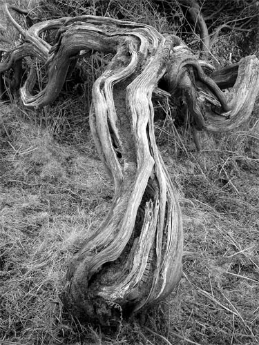 black and white tree photos. Gnarled Old Tree Black and