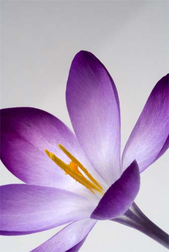 Purple Crocus II