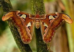 Atlas Silk Moth