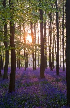 Bluebell Sunrise