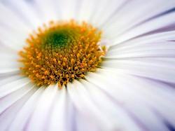 Chrysanthemum Dream