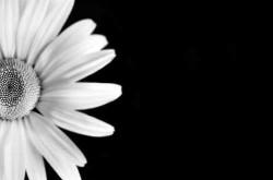 Daisy on Black