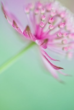 Soft on Astrantia
