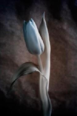 Soft Tulip