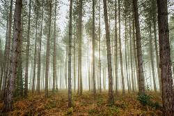 Woodland Fog