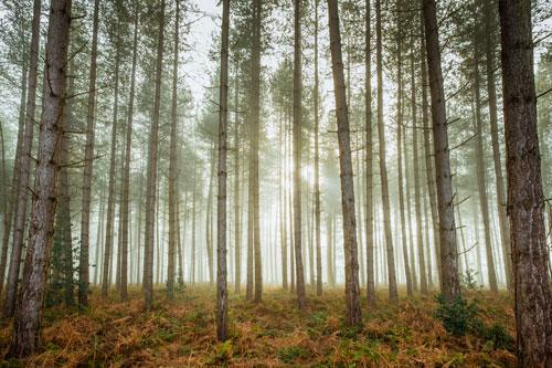Woodland Fog gallery print
