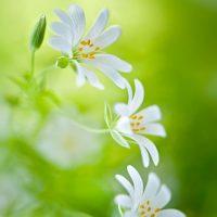 Spring-Delights-stitchwort-print