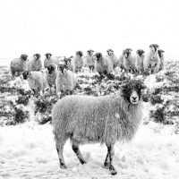 leader-of-the-flock