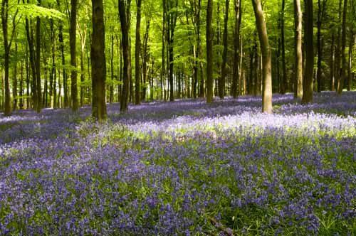 Landscapes I Dream of Bluebells