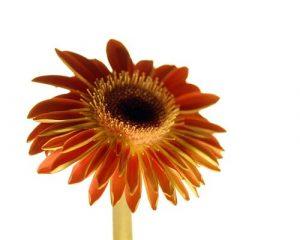 Floral Gerbera Sunshine