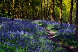 Landscapes Into The Bluebells