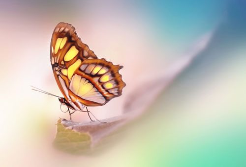 Wildlife Malachite Butterfly
