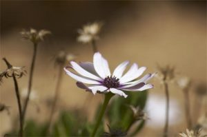 Floral African Daisy