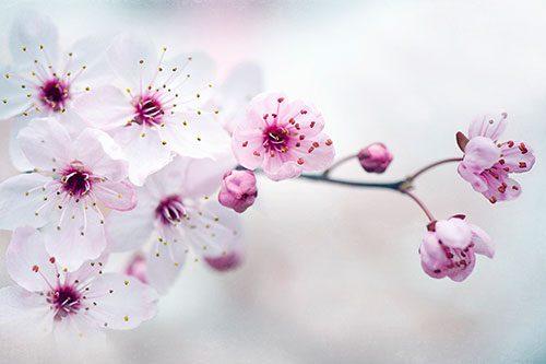 Floral Cherry Plum Blossom
