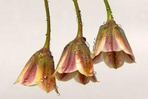 Dew Bells