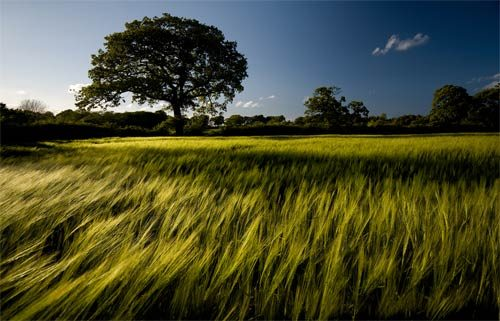 Landscapes Wheat Field