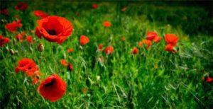 Floral Wild Poppies
