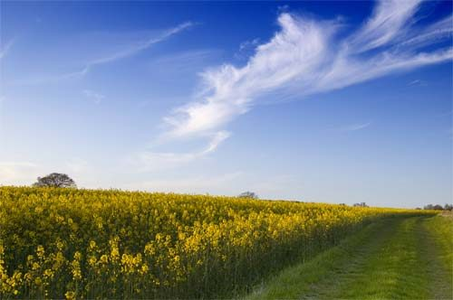Landscapes Rapeseed Summer Field