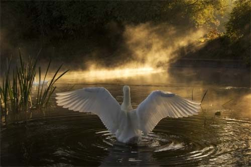Wildlife Rising Swan
