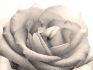 Macro Classic Rose
