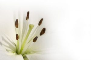 Floral White Lily