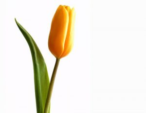 Floral The Yellow Tulip